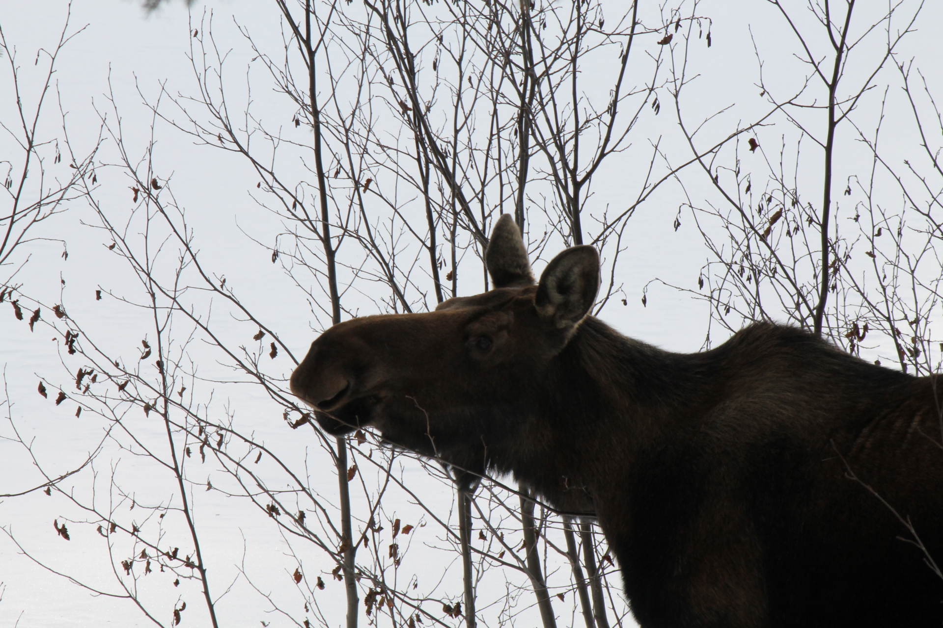Young Moose at the Lake Site- Chatanika Homestead.