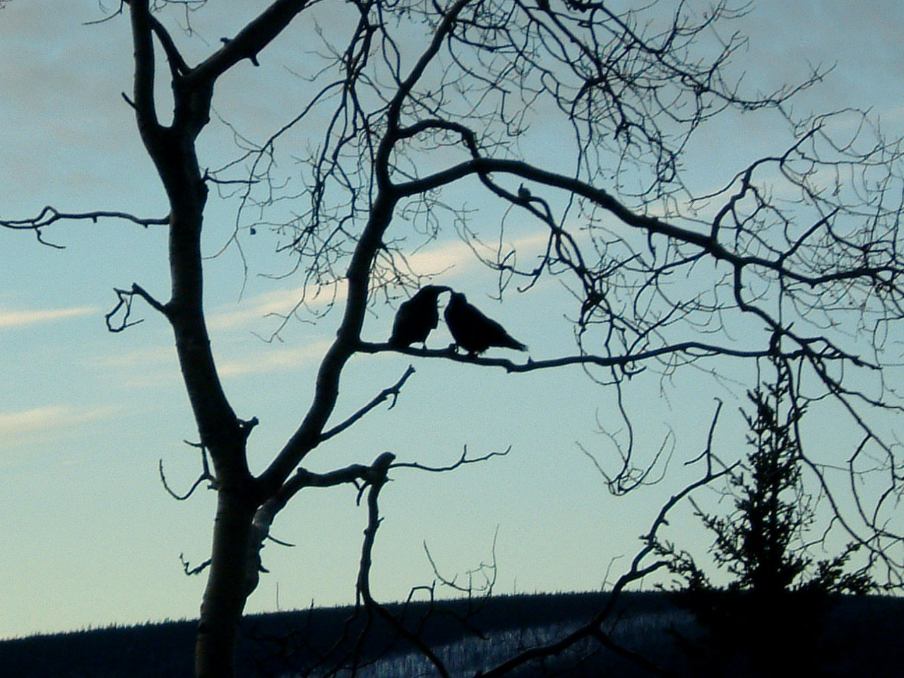 Our daily Ravens- Chatanika Homestead