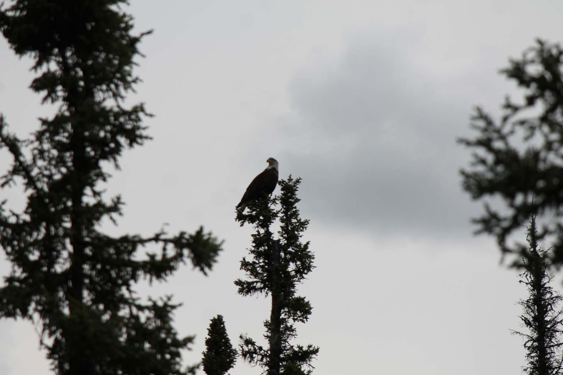 Bald Eagles- Chatanika River